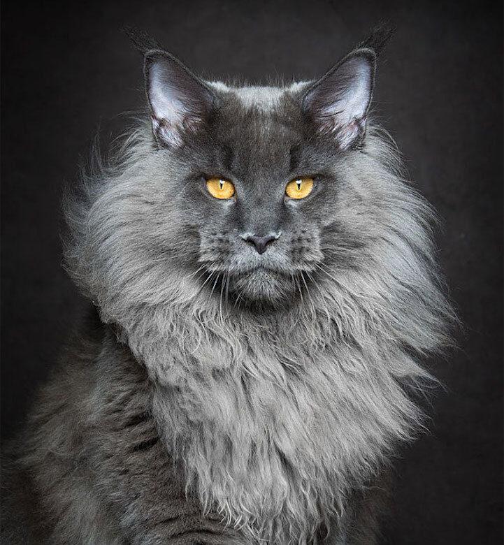 Gatti grandi - Maine Coon
