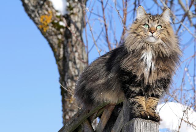 Gatti grandi - Norvegese delle foreste