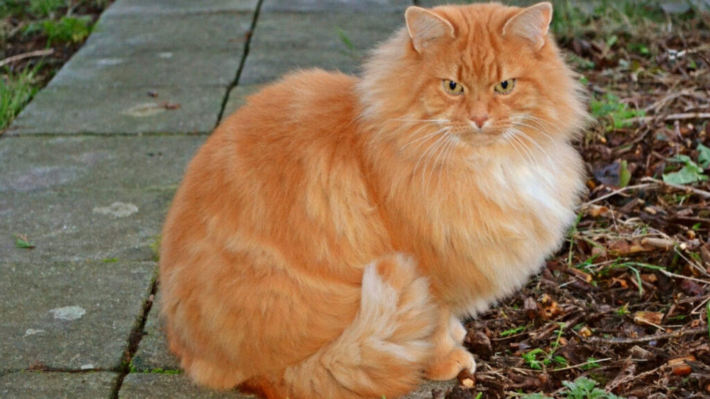 Gatti grandi-Ragamuffin