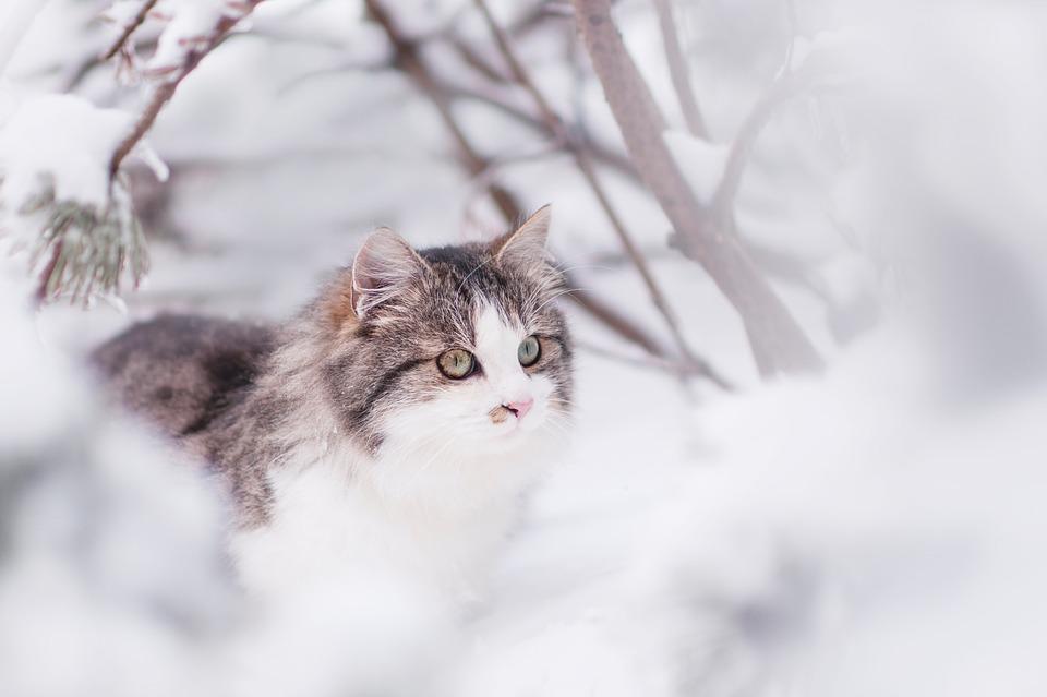 Gatti grandi - Siberiano